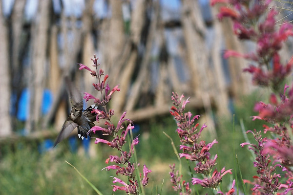 Hummingbird checking out the Agastache.